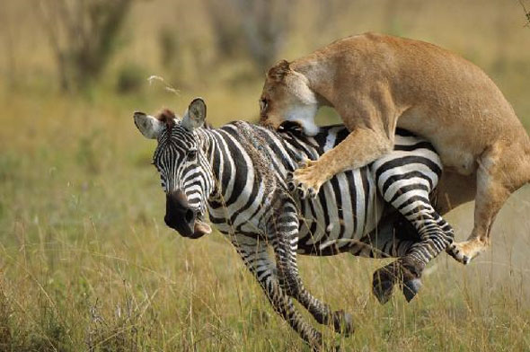 Lion-zebra-attack